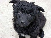 Croatian Sheepdog puppy