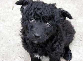 Croatian Sheepdog - Croatian Sheepdog puppy