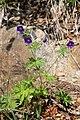 Geranium erianthum (Geraniaceae) (35969838272).jpg