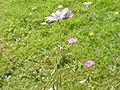 Geranium pyrenaicum0.jpg