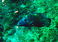 Giant Napoleon Wrasse in Shark Point Dive Site, Apo Reef, Philippines.jpg