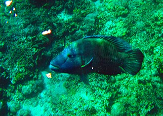 Wrasse - Image: Giant Napoleon Wrasse in Shark Point Dive Site, Apo Reef, Philippines