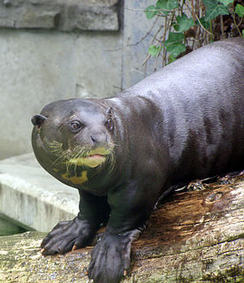 Giant otter species of mammal