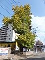 Ginkgo of the Zato-koji street.jpg