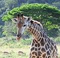 Giraffe (2874470735).jpg