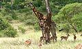 Giraffe (Giraffa camelopardalis) (6021552369).jpg