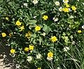 Glebionis segetum plant (12).jpg
