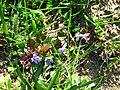Glechoma hederacea 2.jpg