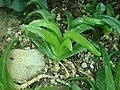 Glottiphyllum longum 2019-12-13 6080.jpg