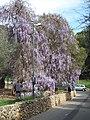 Glycines au jardin des oliviers de Roquebrune.jpg