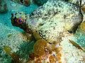 Glyptauchen panduratus Goblinfish P1021067.JPG