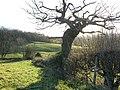 Gnarled tree - geograph.org.uk - 306764.jpg