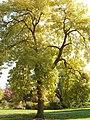 Golden Ash tree in Kew Gardens - geograph.org.uk - 63999.jpg