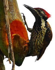 Golden backed woodpecker.JPG