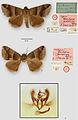 Gondysia pertorrida ZooKeys-149-103-g001.jpg
