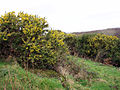 Gorse in Rosemorran Valley - geograph.org.uk - 118785.jpg