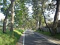 Goyu Pine Tree-Lined Street - Avenue3.jpg