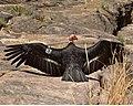 Grand Canyon National Park California Condor 87 3462 (5735691958).jpg