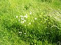 Grass and Oxe-eye daisies.JPG