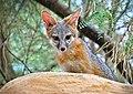 Gray fox kit (48367186726).jpg