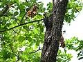 Great Slaty Woodpecker - Mulleripicus pulverulentus - P1100520.jpg