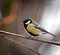 Great tit (24352807692).jpg