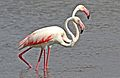 Greater Flamingo, Phoenicopterus roseus at Marievale Nature Reserve, Gauteng, South Afr (23376149766).jpg