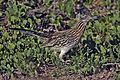 Greater Roadrunner - natures pics.jpg