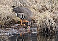 Greater White Fronted Goose (252bb45d-3413-4273-9436-7ffdb24d5e67).jpg