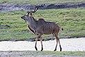 Greater kudu in Chobe National Park 02.jpg