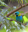 Green-headed tanager.jpg