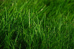Some green grass from early spring