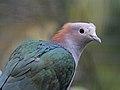 Green Imperial Pigeon RWD5n.jpg