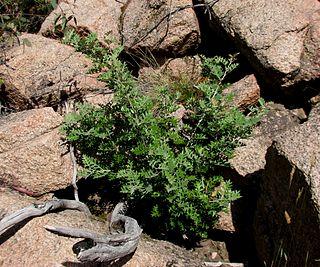 <i>Grevillea willisii</i> species of plant