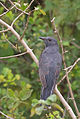 Grey-bellied Cuckoo (2).jpg