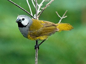 Grey-headed Oliveback, Poli, Cameroon (5891711500) (cropped).jpg