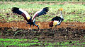 Grey Crowned Crane – Luangwa National Park - Zambia-6a.jpg
