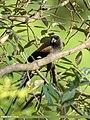 Grey Treepie (Dendrocitta formosae) (27859717949).jpg
