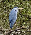 Grey heron - Flickr - gailhampshire.jpg