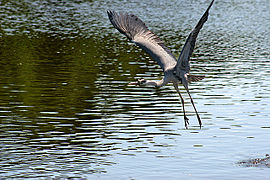 Grey heron flying.jpg
