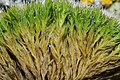 Grimmia alpestris (a, 113335-471123) 1451.JPG