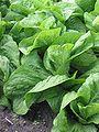 Groenlof (Cichorium intybus var foliosum).jpg