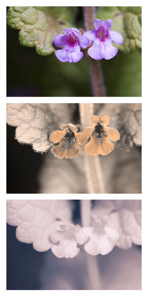 Glechoma hederacea - Flower's appearance in visible, UVA, and NIR spectrums. The UV nectar guides may help attract bees.