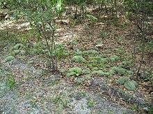 Лишайник (растение) – полезные свойства и применение лишайника. Лишайник пармелия, бородач, древний