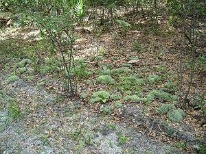 Fruticose lichen - Group of fruiticose Lichen