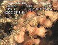 Groupingofdeepoceanseaanemones.jpg