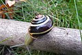 Grove snail Cepaea nemoralis, yellow five-banded form.jpg