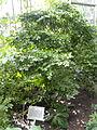 Guaiacum officinale - Palmengarten Frankfurt - DSC01819.JPG
