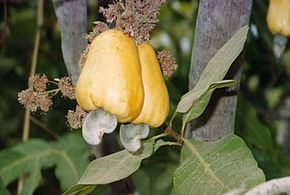 Description de l'image  Image:Gui1 cashewfruit2.jpg .