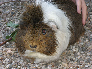 English: Guinea pig
